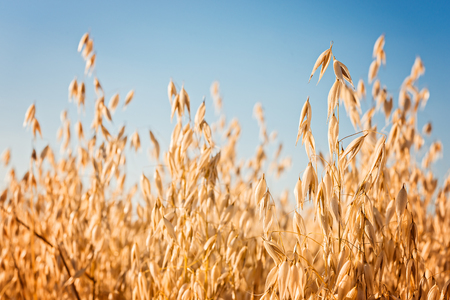 Photo for ears of oat on the field and blue sky - Royalty Free Image