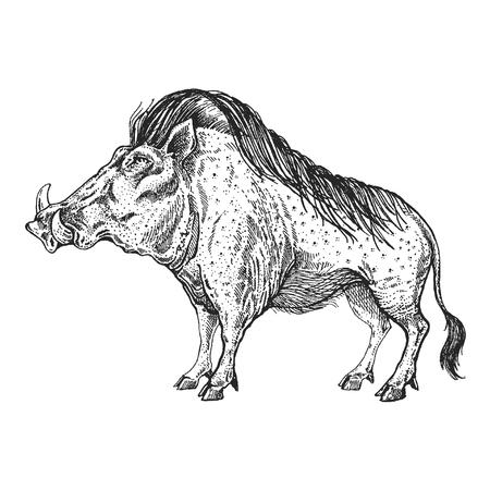 Illustration pour A Warthog, boar, pig, hog on  Hand drawn illustration for tattoo design. - image libre de droit