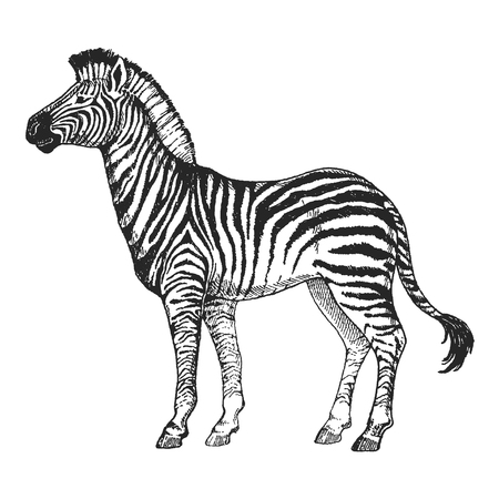 Illustration pour Zebra horse on Hand drawn illustration for tattoo design, emblem, badge, t-shirt print. Engraving of wild animal. Classic vintage style image. - image libre de droit