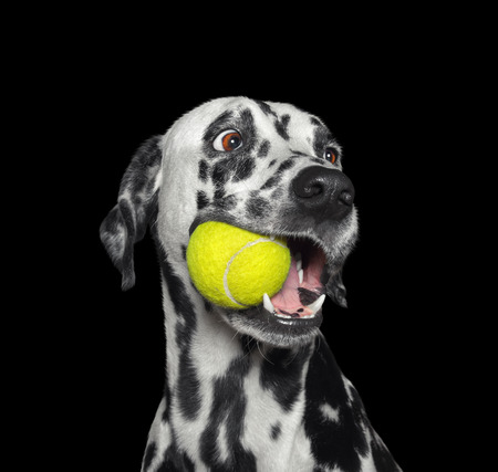 Photo pour Cute dalmatian dog holding a ball in the mouth. Isolated on black - image libre de droit