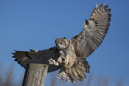 Photo for The great horned owl (Bubo virginianus), also known as the tiger owl (originally derived from early naturalists' description as the winged tiger or tiger of the air) or the hoot owl,[2] is a large owl native to the Americas. - Royalty Free Image