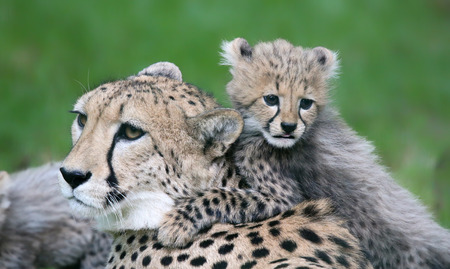 Close-up view of a Cheetah cub and his mother