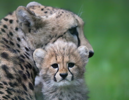 Close-up view of a Cheetah cub in front of his mother 03