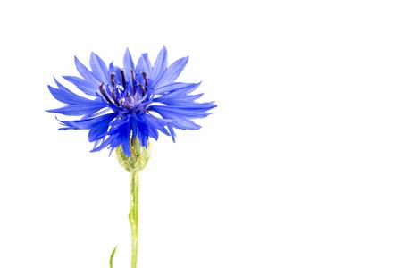 Foto de beautiful cornflower isolated on white background - Imagen libre de derechos