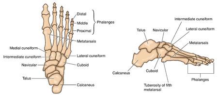 Ilustración de Bones of the foot lateral aspect and dorsal aspect. Created in Adobe Illustrator.  Contains transparencies.  EPS 10. - Imagen libre de derechos