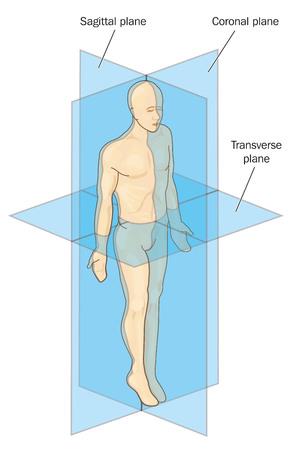 Ilustración de Anatomical planes of section, showing sagittal, coronal and transverse planes through a male body.   - Imagen libre de derechos
