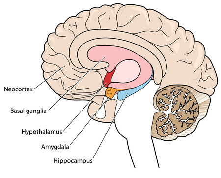 Illustration pour The brain in cross section showing the basal ganglia, hypothalamus, amygdala and hippocampus  - image libre de droit