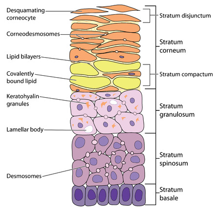 Illustrazione per Detailed view of the skin layers, from the outermost desquamating corneocytes to the basal cells.  - Immagini Royalty Free