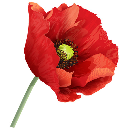 Ilustración de Vector illustration of red poppy flower on a green stem. - Imagen libre de derechos