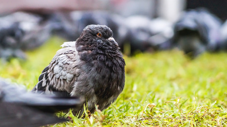 Foto de a pigeon feeling cold while his flock foraging on the grass - Imagen libre de derechos