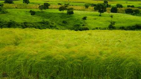 Photo pour Agriculture landscape with fields of teff at morning in Ethiopia - image libre de droit