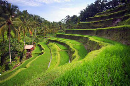 Photo for Terrace rice fields in Tegallalang, Ubud on Bali, Indonesia. - Royalty Free Image