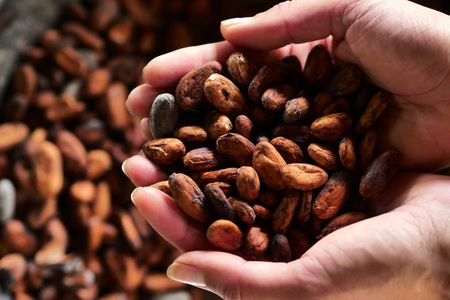 Photo for Close-up of a hand holding a cocoa plant in hand. The fruit contains cocoa beans which are then dried in the sun. Concept of: desserts, tradition and food. - Royalty Free Image