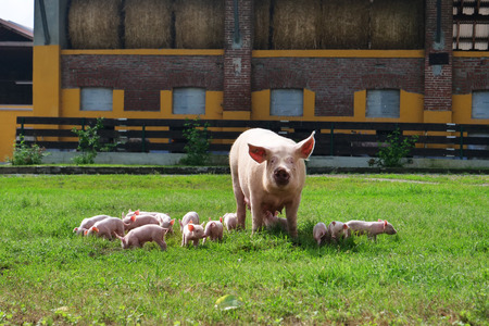 Foto per Family of pigs in a green open-air lawn where the puppies are nursing from their mother. concept of biological, animal health, friendship, love of nature. vegan and vegetarian style. - Immagine Royalty Free