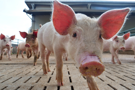 Foto per A farmer carefully raises his pigs in a biological way. Concept of: nature, bio, breeding, - Immagine Royalty Free
