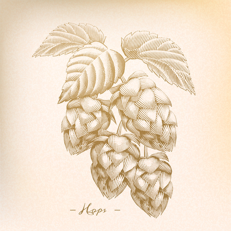 Illustration for Retro hops in engraving style, beige tone - Royalty Free Image
