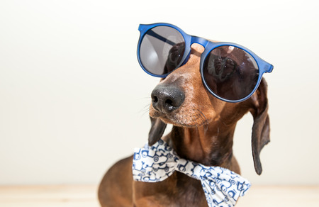 Foto de Red dachshund dog with sun glasses or bow tie scarves - Imagen libre de derechos
