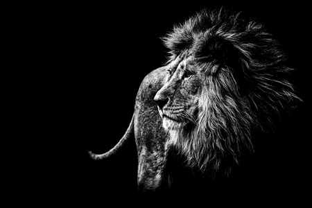 Photo pour lion in black and white - image libre de droit