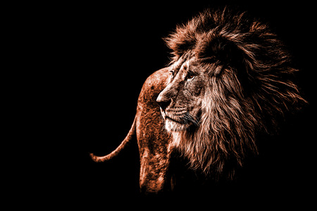 Photo pour a lion portrait in dark orange colours - image libre de droit