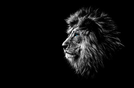 Photo for lion in black and white with blue eyes - Royalty Free Image