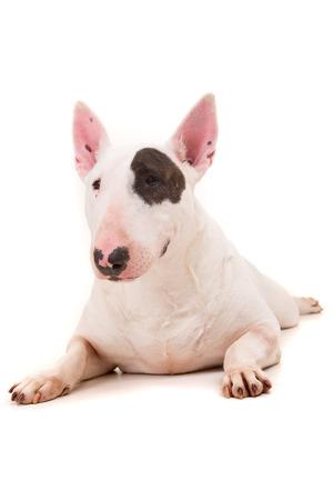 Photo pour Studio shot of a beautiful bull terrier - image libre de droit