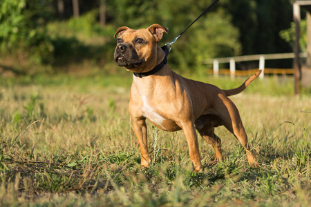 Photo pour Beautiful staffordshire bull terrier posing in a park at the sunset - image libre de droit