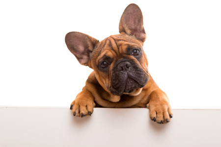 Photo for Funny French Bulldog puppy over a white banner, isolated - Royalty Free Image