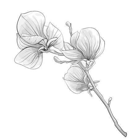 Illustration pour beautiful monochrome, black and white twig blossoming magnolia tree. flower isolated. Hand-drawn contour lines and strokes. - image libre de droit