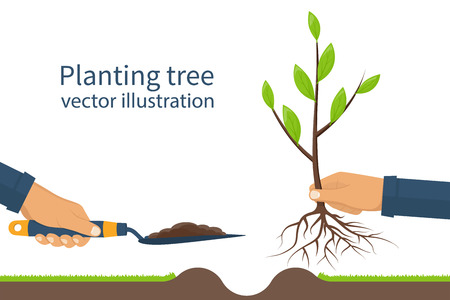 Illustration pour Planting tree, sapling with roots and garden spade in hand man. Process planting concept, infographic. Gardening, agriculture, caring for environment. Vector illustration flat design. Young sapling. - image libre de droit