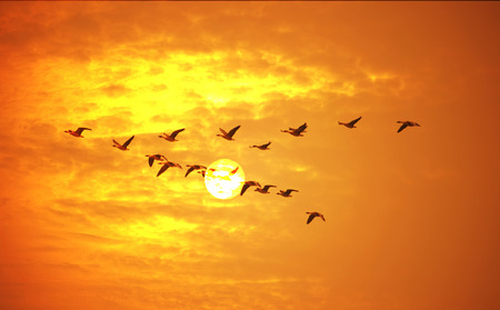 Photo pour Flying birds against orange sunset. - image libre de droit