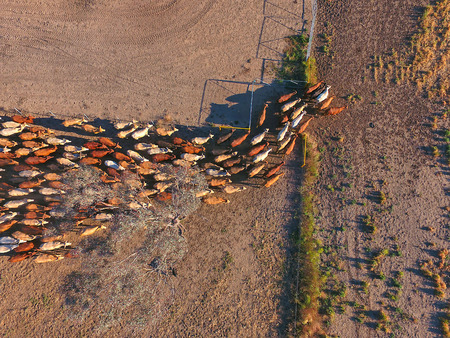 Foto de Aerial view of Outback Cattle mustering featuring herd of livestock cows and bulls in drought and dusty area. Ready for auction and cattle yards. Complete with sheep dogs and cowboy farmers. - Imagen libre de derechos