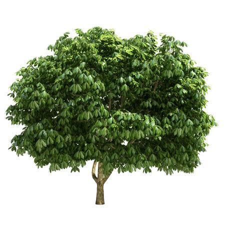 Photo for Buckeye tree isolated on white. - Royalty Free Image
