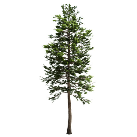 Photo pour Tall american pine tree isolated on white. - image libre de droit