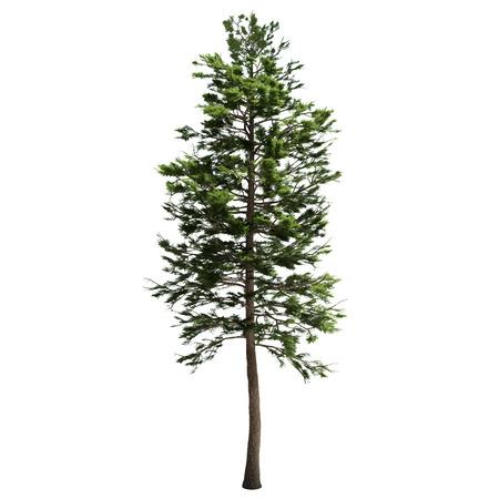 Foto de Tall american pine tree isolated on white. - Imagen libre de derechos
