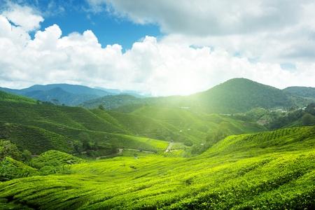 Photo pour Tea plantation Cameron highlands, Malaysia - image libre de droit