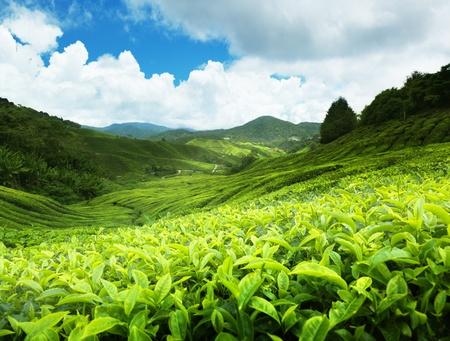Foto de Tea plantation Cameron highlands, Malaysia - Imagen libre de derechos