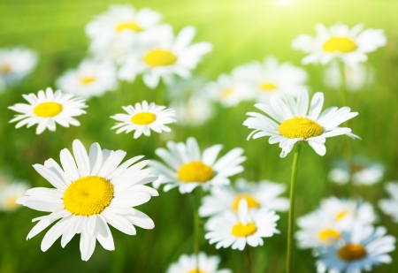 Photo for field of daisy flowers - Royalty Free Image