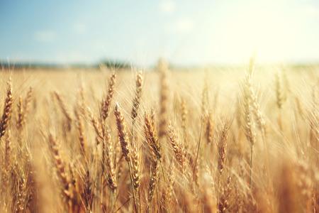 Foto de golden wheat field and sunny day - Imagen libre de derechos