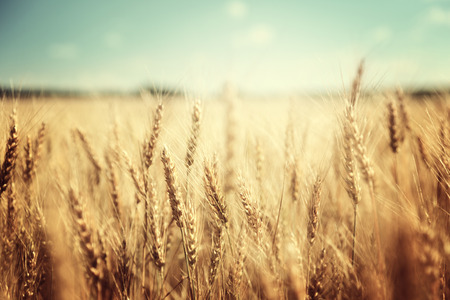 Foto de golden wheat field and sunny day - Imagen libre de derechos