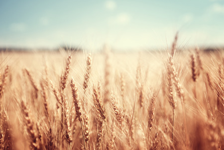 Photo pour wheat field and sunny day - image libre de droit
