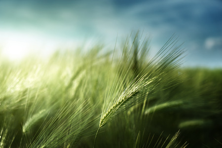 Photo for barley field in sunset time - Royalty Free Image