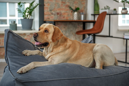 Photo pour Nice dog lying on comfortable sofa - image libre de droit