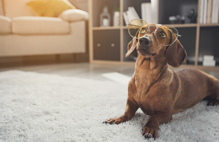 Foto de Smart domesticated dachshund dog wearing glasses. It is looking up with curiosity while lying on carpet at home. Copy space - Imagen libre de derechos