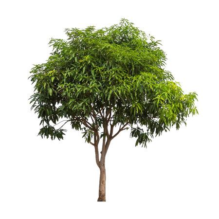 Foto de Isolated mango tree on white background - Imagen libre de derechos