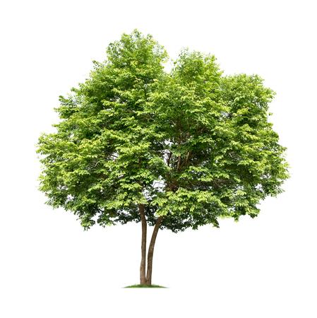 Photo for Isolated tree on white background - Royalty Free Image