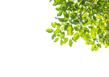 Photo pour Isolated green tree leaf on white background - image libre de droit