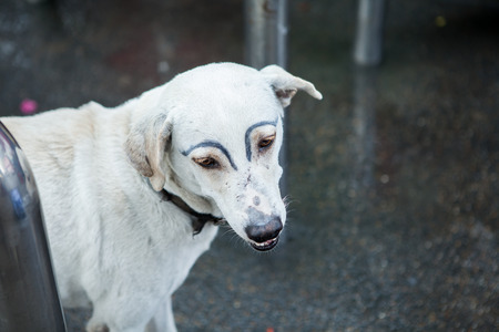 Foto de white dog was faking draw eyebrows on street - Imagen libre de derechos