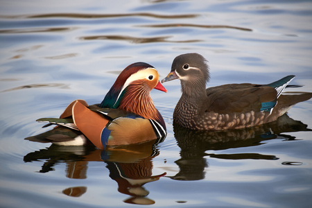 Photo for two mandarin duck in pond - Royalty Free Image
