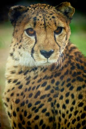 Photo for close up of Cheetah - Royalty Free Image
