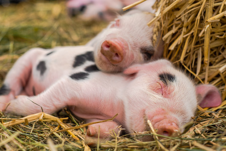 Foto de Oxford Sandy and Black piglets sleeping together. Four day old domestic pigs outdoors, with black spots on pink skin - Imagen libre de derechos